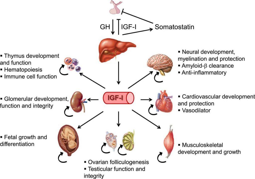 Effekte von IGF-1