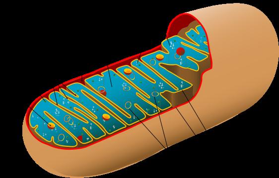 Krebs und Mitochondrien