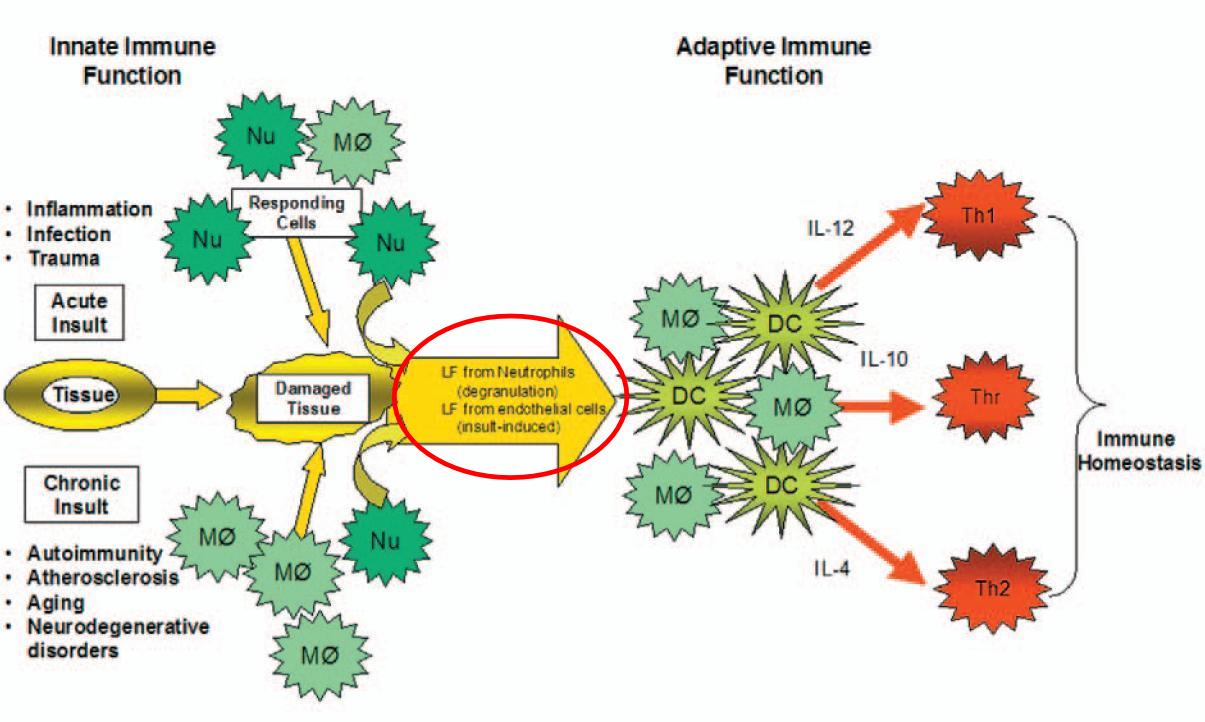 Lactoferrin und das Immunsystem