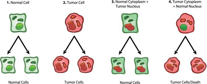 Krebszellen: Zellkern vs. Mitochondrien