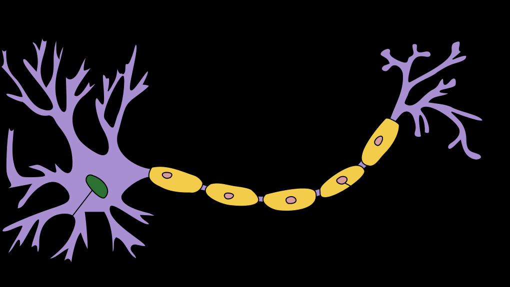 Myelinscheide